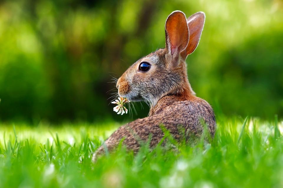 野生のうさぎの生き方。寿命や食べているエサ、一生について