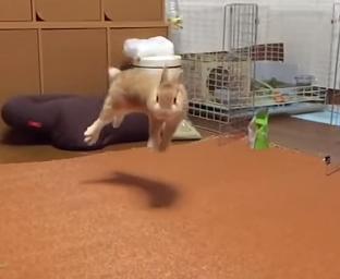 うさぎのジャンプ力を検証。最大で1m飛べる威力が!