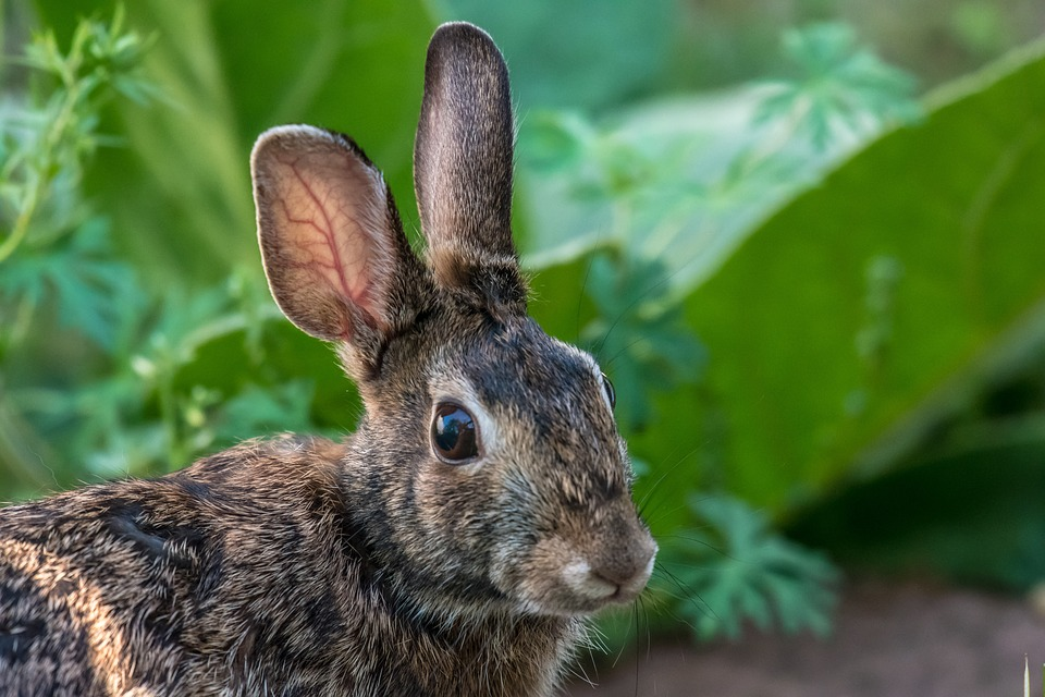 かわいい耳はなぜ垂れ耳なの?その理由と人気な種類について