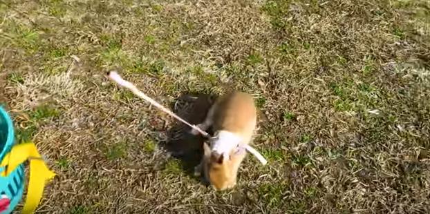 お散歩しよう!うさぎのリードのつけ方と注意点。おすすめリード紹介